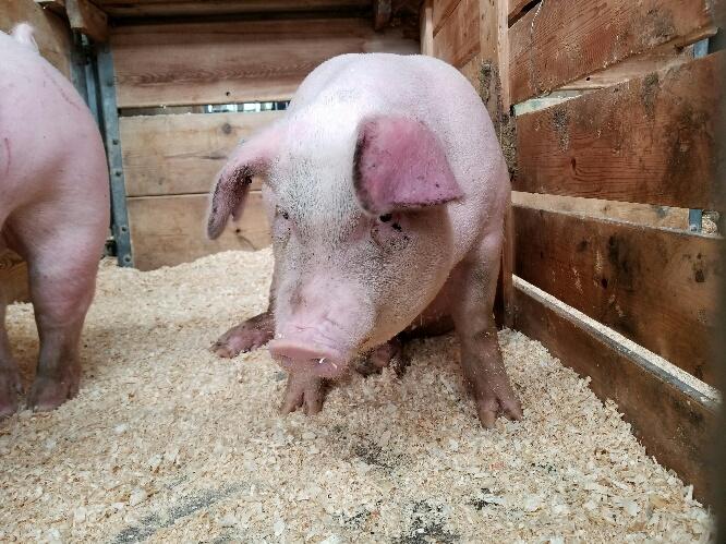 Pig business in Nigeria - diseases