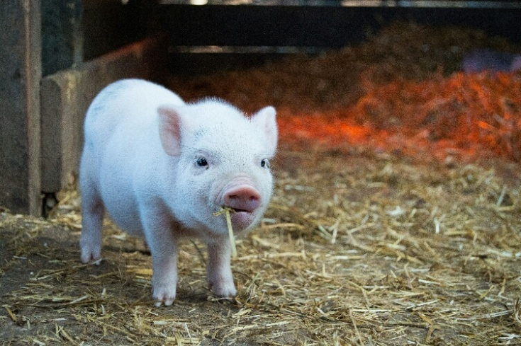 Nigeria business ideas- piggery