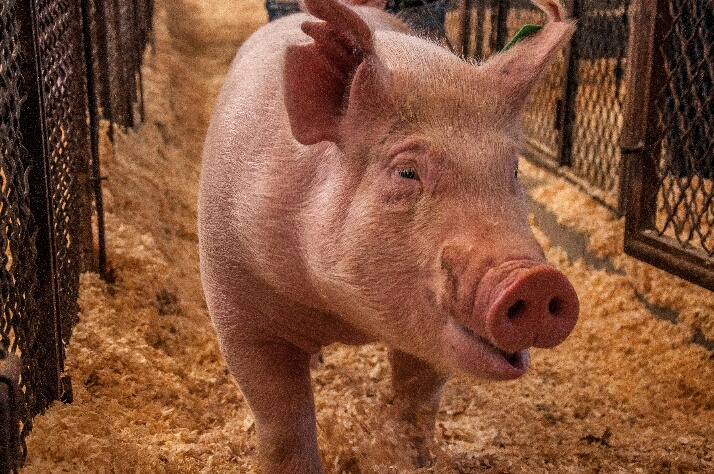 Starting a pig farming business